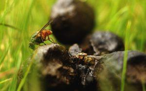Fluer på en lort