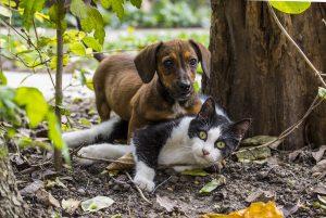 Som hund og kat