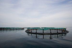 Opdrætsfisk i havbrug i Danmark akvakultur