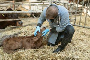 antiobiotika højner dyrevelfærd