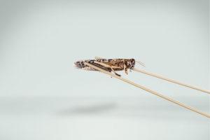 Insekter som mad er kommet for at blive